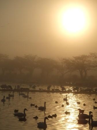 阿賀野市・瓢湖の白鳥見学ツアー