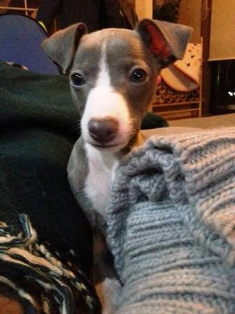 イタリアングレーハウンド、通称イタグレのグレーの子供犬 トニー君です