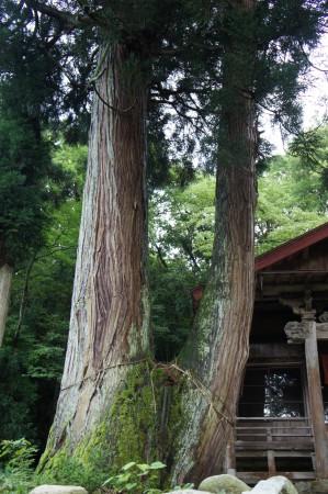 今板温泉・お薬師様の隣にある御神木夫婦杉