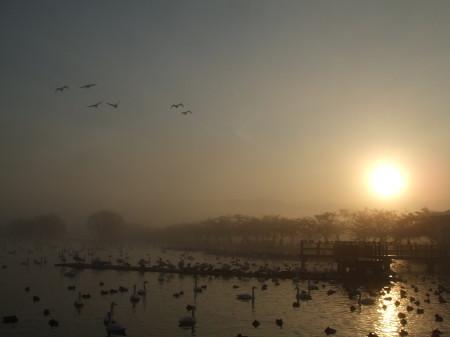 瓢湖の白鳥