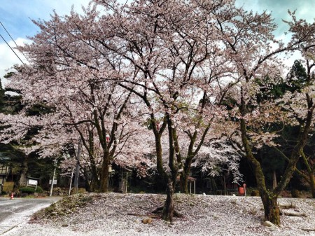 sakura 桜散り始め 桜の絨毯 新潟